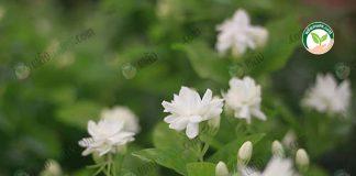 """ดอกมะลิ พันธุ์ใหม่ """" มะลิเศรษฐี """" มีกลีบดอกสามชั้น ดอกใหญ่ ดก มีกลิ่นหอมกว่า"""