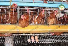 การเลี้ยงไก่พันธุ์ไข่ ได้ไข่แดง ฟองใหญ่