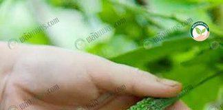 มะระขี้นกสรรพคุณ สารซาแรนติน โดนเด่นในเรื่องการลดน้ำตาลในเลือดได้ดีเยี่ยม