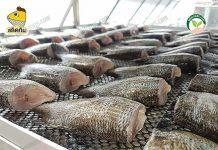 นำปลามาตากแดดในโรงเรือน ทำ สลิดแดดเดียว