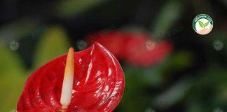 หน้าวัวตัดดอก พันธุ์ทรอปิคอล