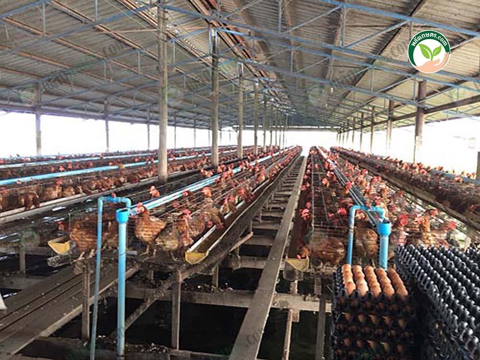 3.โรงเรือนไก่ไข่ระบบเปิด โดยการ เลี้ยงไก่ไข่บนบ่อปลา