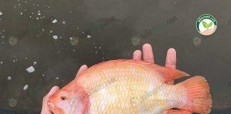ปลาทับทิมตัวใหญ่ อ้วนสวย สันหนา